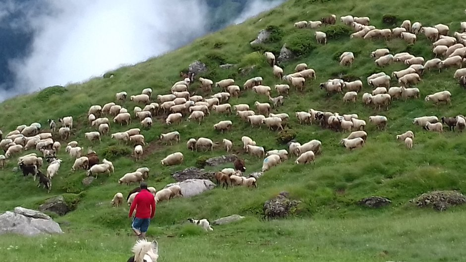 sheep-pyrenees-yannick-BeatriceJouenne.jpg